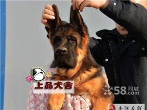 錘系德牧專業犬舍高品質尊貴血統錘系德國牧羊犬出售