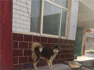 阿拉斯加成母出售或�Q狗