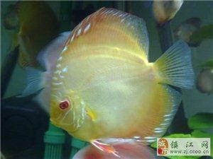 出售家養七彩神仙魚