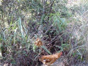生态鸡零售 批发