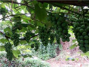 出售特色关口白葡萄酒及葡萄树苗