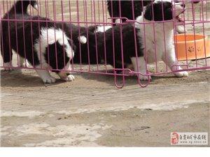 聰明的邊境牧羊犬健康保證七白到位