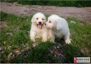 大白熊幼犬王者風范品相純正保證健康