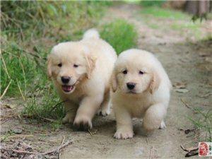 純種黃金獵犬金毛尋回犬幼犬寶寶低價熱銷