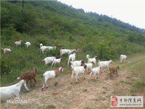 波尔山羊种羊出售,价格面议。