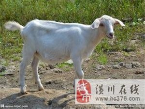 潢川驕陽羊場為你提供優質的羊肉及活羊