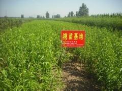 出售桃樹苗 果樹苗 大櫻桃苗  及其他品種的綠化苗