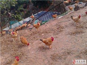过年送礼首选−−家鸡,便宜实惠靠得住