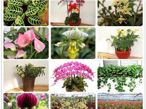 綠植盆栽花卉促銷博華農業