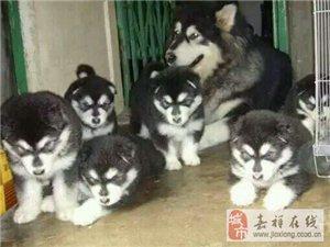 自家养的阿拉斯加幼犬出售