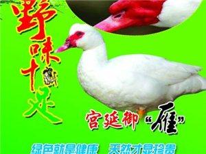 出售非洲雁鸭