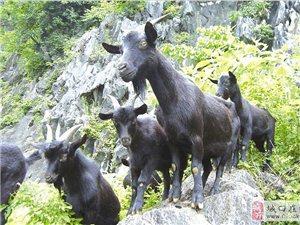 常年出售高山生态黑山羊  寻求优质经销商合作共赢