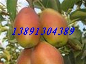 陜西冷庫紅香酥梨價格|陜西冷庫庫爾香梨價格