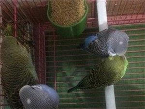 自己家孵化的小鹦鹉出笼啦