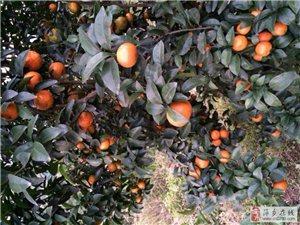 萍鄉還有6元多一斤的砂糖桔嗎?