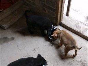 土猎后代3狗狗