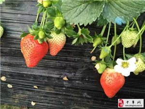 自家新鮮草莓,可送貨上門