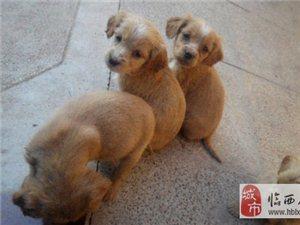 出售英卡幼犬 15097955022