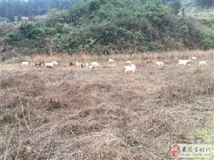 本人長期出售天然放養山羊