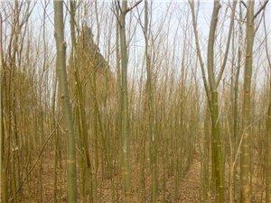 出售金絲柳樹3米及以上直徑3-5厘米左右