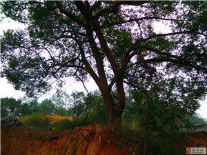 出售活體大樟樹