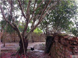南康市龙华乡牛石村有一榕树出售