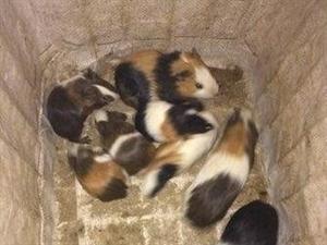 家里生了很多豬寶寶 有商販需要的來批發