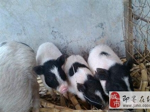 長不大的巴馬香豬低價轉讓了