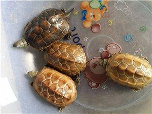 出售一批靓中华草龟,欲购从速