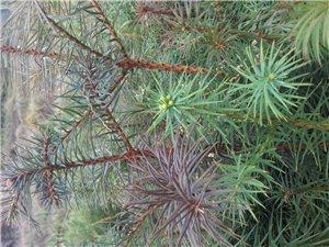大量供应优质杉树苗