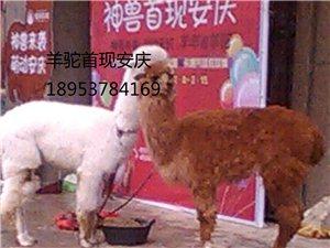 羊驼价格羊驼租赁价格
