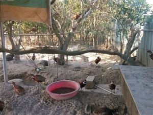 土家珍珠鸡,野鸡发售