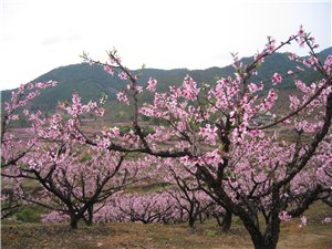春季踏青,就来豫星赏桃花