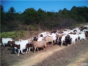 純天然山區放養山羊出售