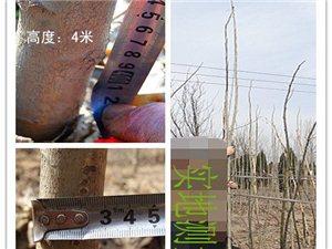 山西省河津市苗木超低價銷售:大葉國槐、紫葉矮櫻等等