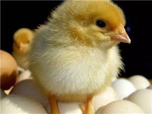安新县景明种鸡厂常年出售