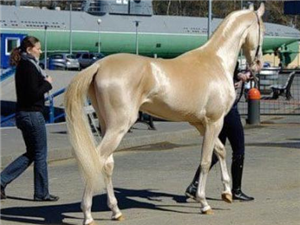 金沙平台大黑马黄马   结婚迎亲 郊游 婚纱摄影 骑马