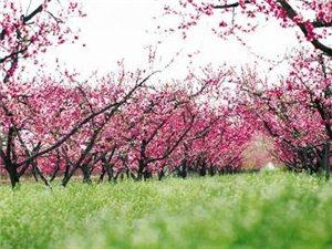 春游 踏青  就来长葛桃花节