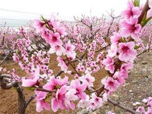 中原最美桃花节 3.28日开幕了