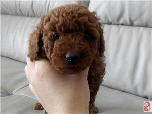 自家狗狗生的泰迪宝宝,低价出售