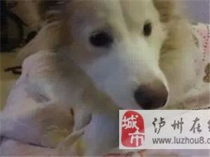 边牧犬——黄白色金边,急寻!!!!