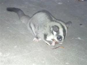 澳洲飞鼠。。。。