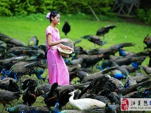 江夏白鸽、孔雀、珍珠鸡仙鹤种苗服务摄影