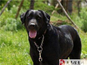 德國純種大丹犬配種,養了4年