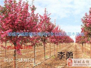 出售西府海棠,5角枫。白蜡,法桐。