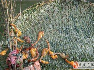 自家渔船在南海捕捉的(野生海马)