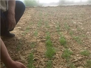 诺木洪黑枸杞苗出售