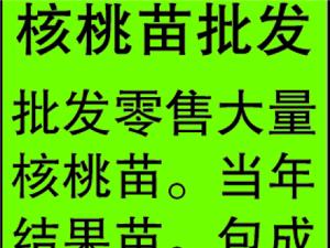 蠡县批发零售核桃苗