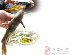 野生黄丁鱼有售