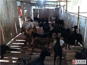 群羊 出售(公母大小整群一起走)